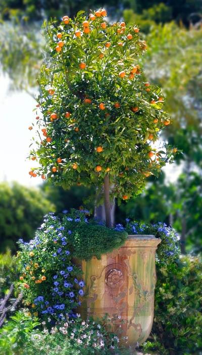 Μεγαλώνοντας δέντρα σε γλάστρες