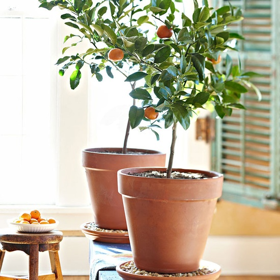 Μεγαλώνοντας δέντρα σε γλάστρες11