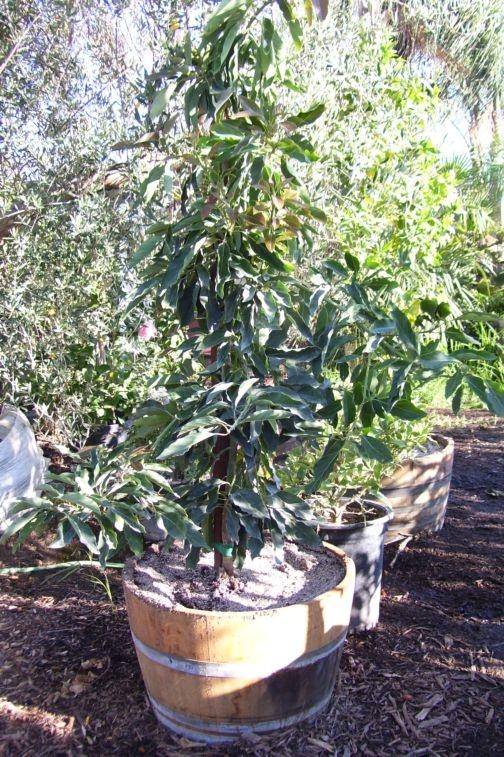 Μεγαλώνοντας δέντρα σε γλάστρες14