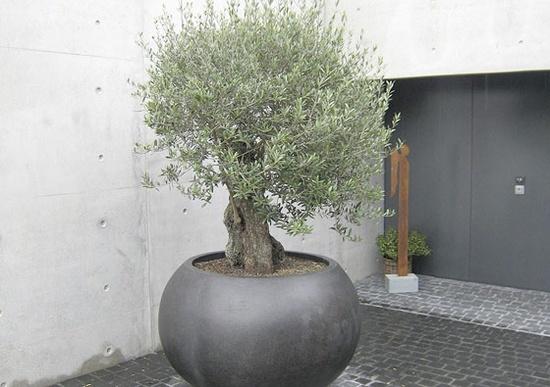 Μεγαλώνοντας δέντρα σε γλάστρες15