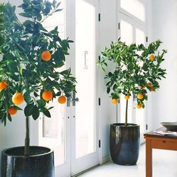 Μεγαλώνοντας δέντρα σε γλάστρες9
