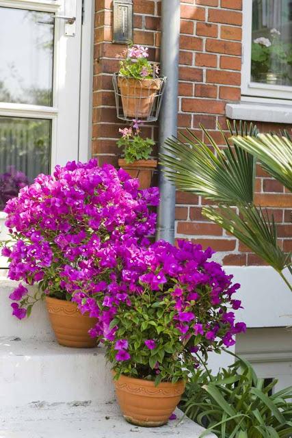 Βουκαμβίλια - Ένα μαγικό εξωτικό φυτό5