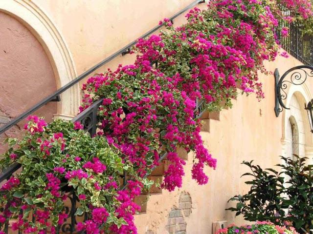 Βουκαμβίλια - Ένα μαγικό εξωτικό φυτό7