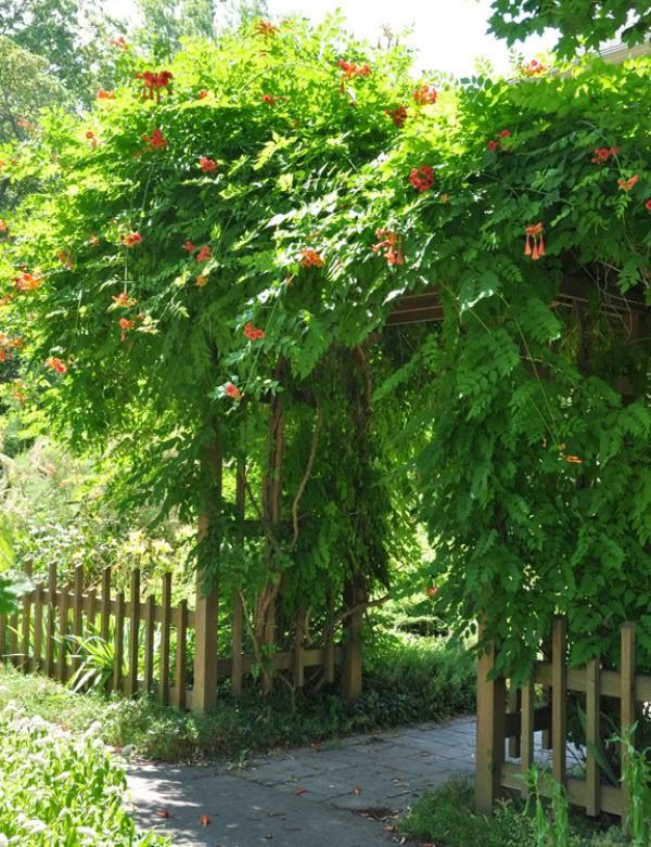 φυτά για πέργκολες9