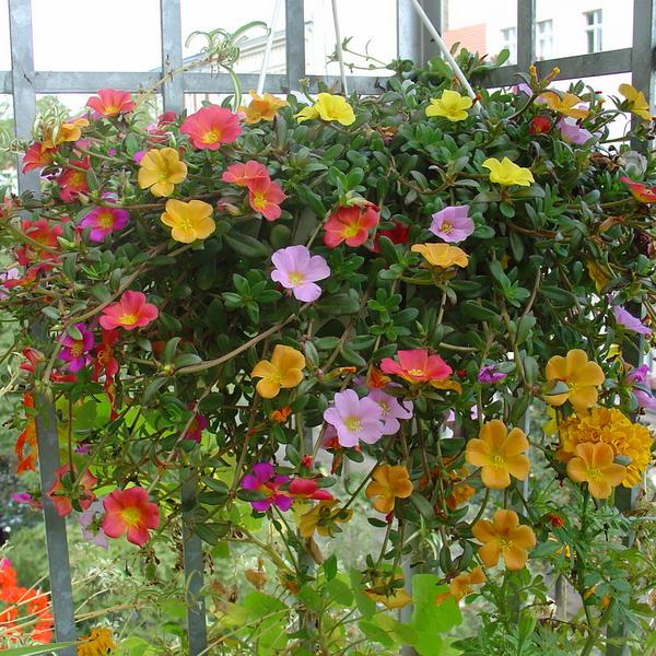 Λουλούδια στο μπαλκόνι50