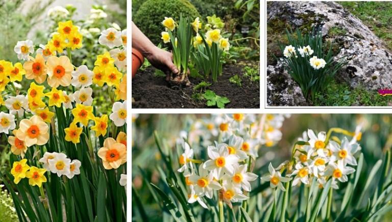 Νάρκισσος (μανουσάκια), ένα μεθυστικό λουλούδι για κήπο και γλάστρα