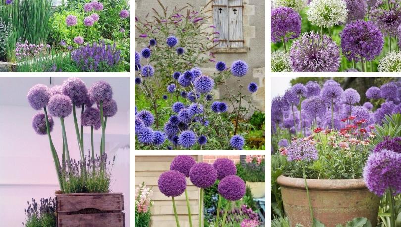 Πώς να καλλιεργήσετε Άλιουμ το λουλούδι που μοιάζει με μπάλα - εξαιρετικές ιδέες για τον κήπο σας
