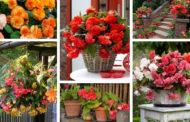 Mπιγκόνια: 50+ Όμορφες εικόνες για διακόσμηση σπιτιού και κήπου και συμβουλές για το πώς να τη φροντίζετε
