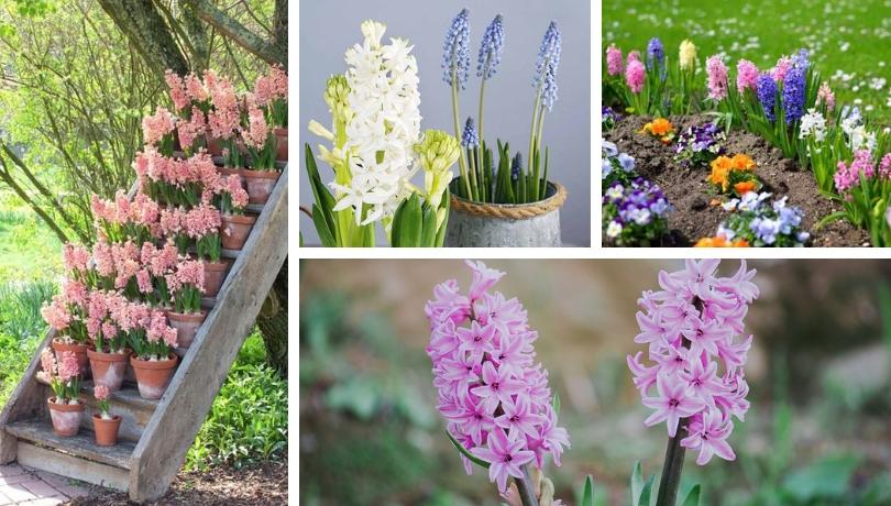 Υάκινθος (ζουμπούλι), ένα καταπληκτικό φυτό για κήπο και γλάστρα
