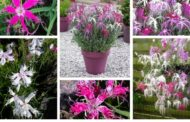 Κινέζικο γαρύφαλλο «Η Γκέισα Χορεύτρια» ένα εξωτικό φυτό για αυλή και τον κήπο σας