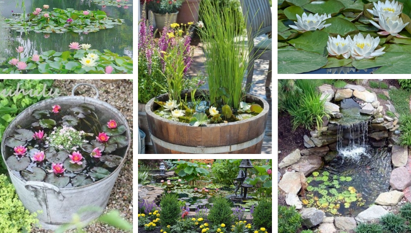 Νούφαρο ένα εκπληκτικό λουλούδι στο νερό και μια υπέροχη διακόσμηση για τον κήπο σας