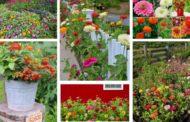 Ζίννια - έκρηξη χρωμάτων στον κήπο σας με αυτό το πολύχρωμο λουλούδι