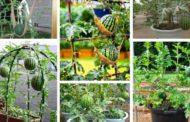 Πώς να καλλιεργήσετε καρπούζια σε γλάστρες και πατρεράκια